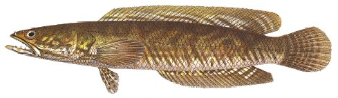 Public domain image of a snakehead fish.