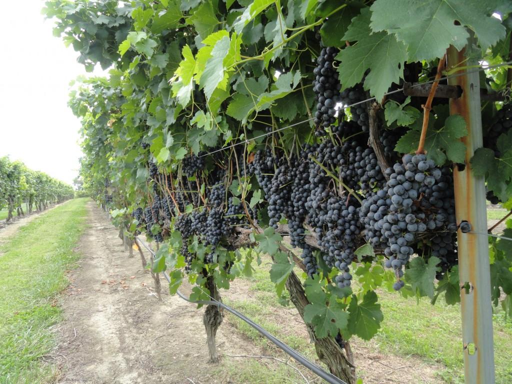New Jersey-grown grapes at Auburn Road Winery. Credit: Matt Skoufalos.