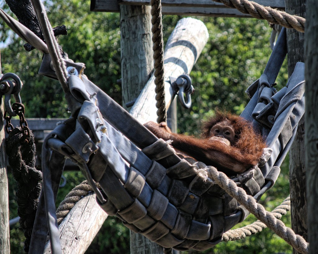 Orangutan with hose hammock. Credit: Hose2Habitat.