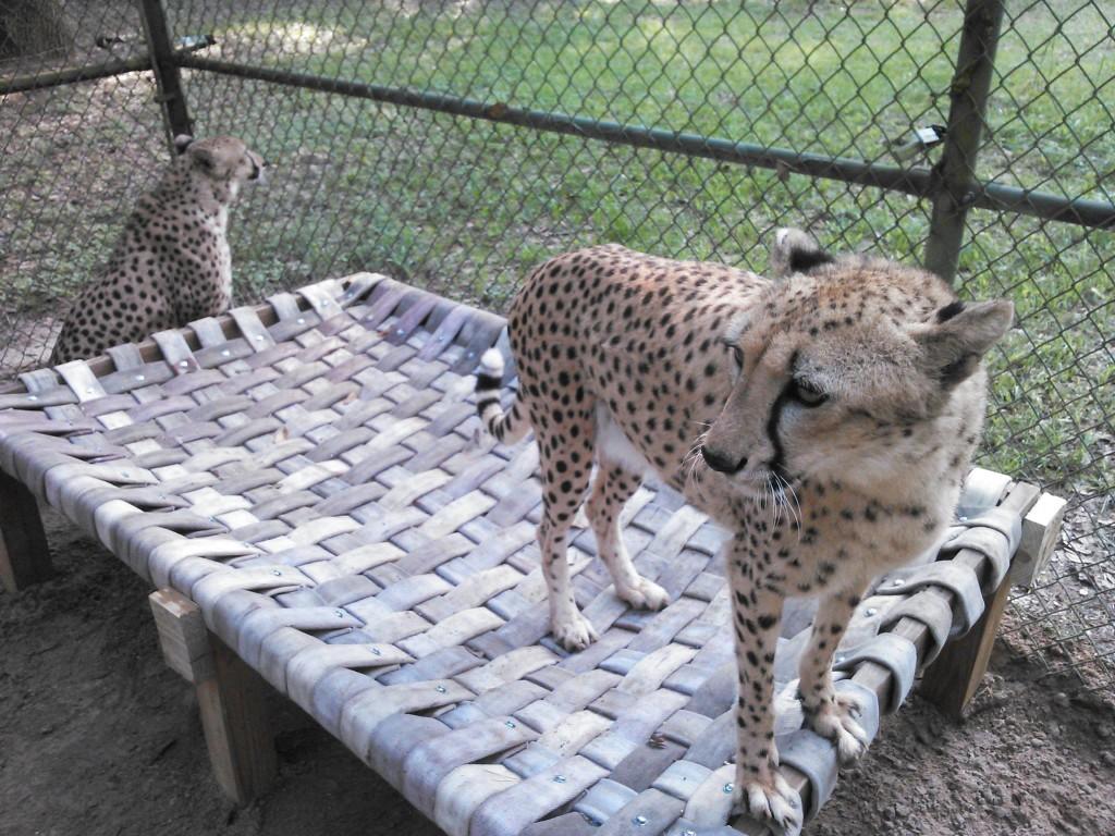 Cheetahs. Credit: Hose2Habitat.