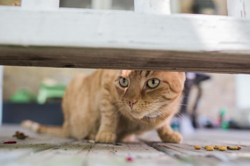 Rescue cat Winkers. Credit: Tricia Burrough.