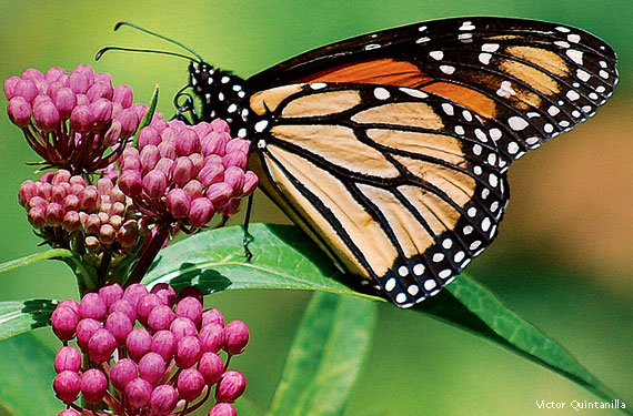 Milkweed for Monarchs and Other Plants for Pollinators