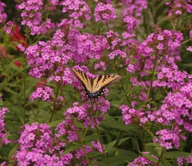 Monarchs, Milkweed & More